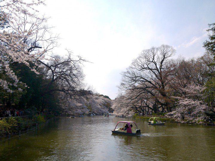 sakura_inokashira0327